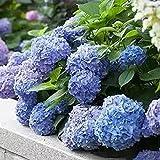 Fuduoduo Semillas EcolóGicas AromáTicas,Semillas de hortensias de Plantas fáciles de Vivir-Q_100pcs,Perenne Resistente Semillas