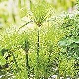 Cyperus percamenthus | Papyrus | Plante aquatique | Hauteur 20-30cm | Pot Ø 18cm