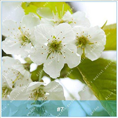 ZLKING 20pcs / pack japonais Sakura Fleurs Bonsaï Graines Cerasus yedoensis fleurs de cerisier facile de cultiver des plantes de fleurs exotiques 7