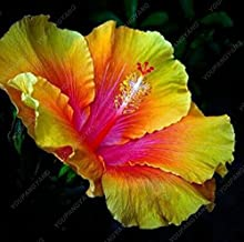 100 pcs/bag hibiscus flower seeds, giant bonsai hibiscus seed balcony potted flower seeds dwarf plant easy grow for home garden Purple