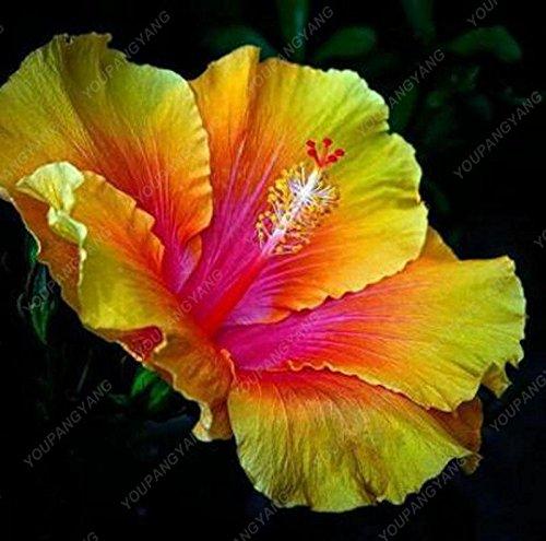100 pcs/sac graines de fleurs d'hibiscus, balcon graines d'hibiscus bonsaï géant graines de fleurs en pot plante naine grandir facile pour le jardin à la maison pourpre