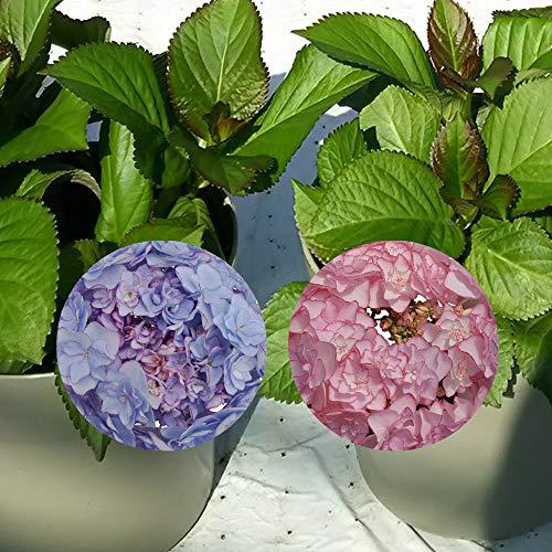 ケイコ苗木 あじさい苗 5号鉢 あじさい アジサイ 紫陽花 花鉢植え 花