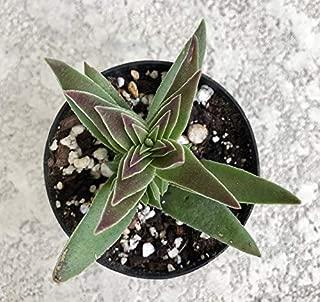 Crassula corymbulosa, Red Pagoda, Sharks Tooth, Crassula capitella subsp. Thyrsiflora, Crassula, Succulent, Plant