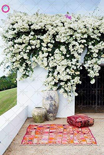 PLAT FIRM GERMINATIONSAMEN: 20 stücke Garten Kletterpflanzen Bougainvillea Spectabilis Willd anlage