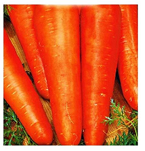 Semillas de zanahoria san valerio - verduras - daucus carota - aprox. 4500 semillas - las mejores semillas de plantas - flores - frutas raras - zanahorias - idea de regalo -