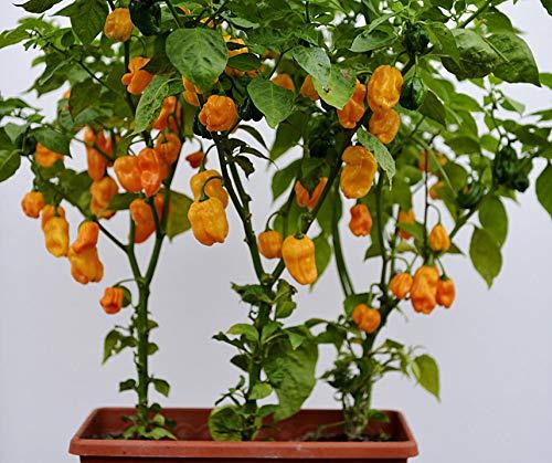 Bobby-Seeds Chili- Peperonisamen Numex Suave Orange Portion