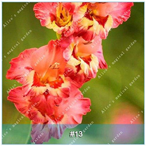 ZLKING 1 Pcs 15 sortes de bulbes chinois glaïeul Fleur glaïeul Pas Graines frais Haute Germination Prix Facile à cultiver Orchid Bonsai 13