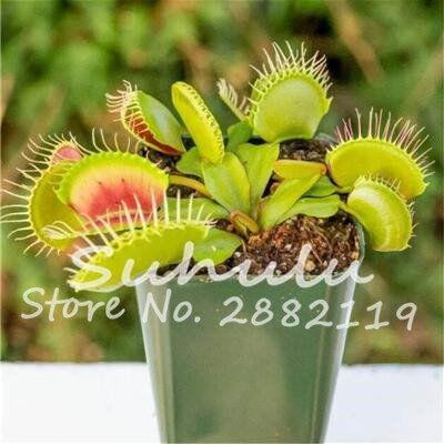 10 pièces bleu exotique insectivores Graine de plantes Succulentes Dionaea Bonsai Seed Venus Fly Trap Plantes Carnivores Easy Grow