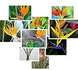 venta caliente 50pcs Strelitzia reginae semillas híbridas de semillas paraíso de las aves Bonsai plantas Semillas para el hogar y el jardín