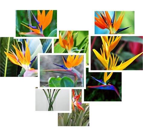 Vente chaude 50pcs Strelitzia reginae semences hybrides de graines de paradis des oiseaux Bonsai plantes Semences pour la maison et le jardin