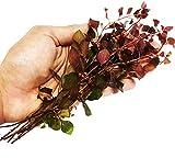 Planterest - Ludwigia Repens Rubin Super Red Ruby Bundle Live Aquarium Plant Stems Decorations BUY2GET1FREE