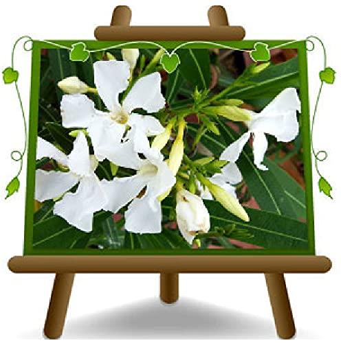 Oleandro Bianco - Nerium Oleander - Piante Ornamentali su vaso da 24