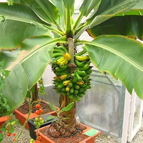 Yongse Egrow 200Pcs Garden Banana Seeds Outdoor Dwarf Fruit Trees Banana Milk Taste Banana Milk Perennial Potted Fruit