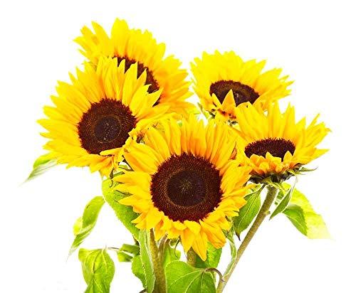 Semi di girasole 20 / confezione Bio non OGM Giardino domestico Sole soleggiato Semi di fiori Semi impollinati aperti per la semina (Lemon Queen Sunflower)