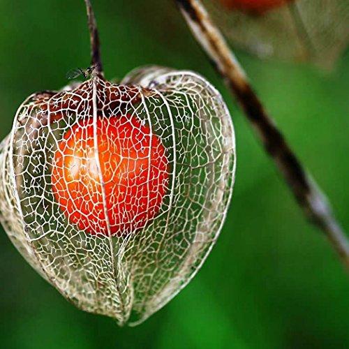 Ncient 50 Semillas de Frutas de Linterna Roja Red Lantern Fruits Semillas Frutas Flores Raras Plantas Bonsai para Jardín Balcon Interior y Exteriores