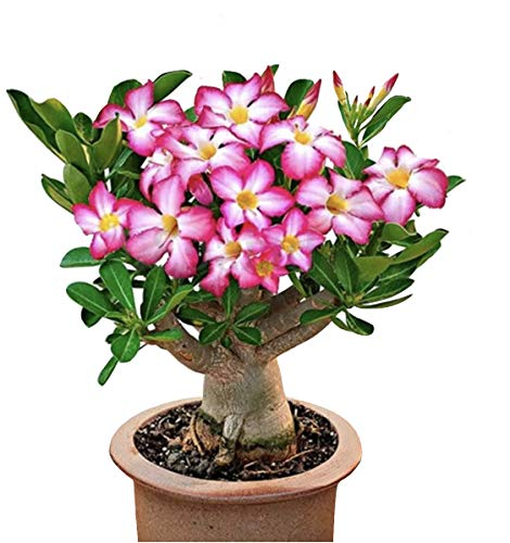 COLIBROX 2 Pink Desert Rose, 1 Year Old Bare Rooted Baby Plant - Caudex Bonsai