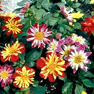 ANVIN Seeds Package: + Dahlia Harlequin Mix Flower Early Blooming Bi-Color
