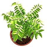 ypypiaol 100Pcs Curry Leaf Tree Seeds Semillas De Plantas De Hierbas Culinarias Acariciadas Decoración De Jardín Al Aire Libre Semillas de curry