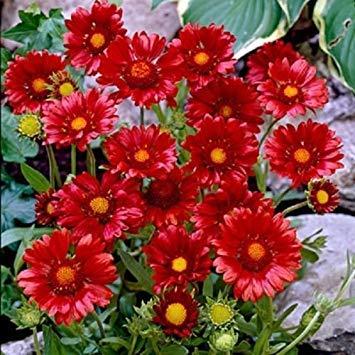 VISA STORE Blanket dy 75 Seeds Schöne Reds