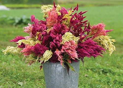 100pcs New rares impressionnants Pampas pourpre herbe semences de plantes ornementales jardin potager Plantes graines Fleurs pot herbe de la pampa de bonsaïs 11