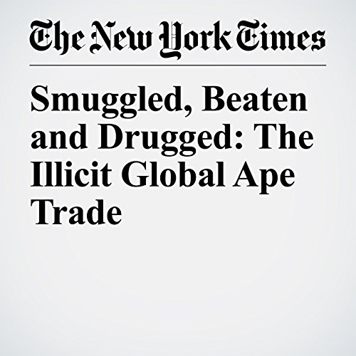 Smuggled, Beaten and Drugged: The Illicit Global Ape Trade copertina