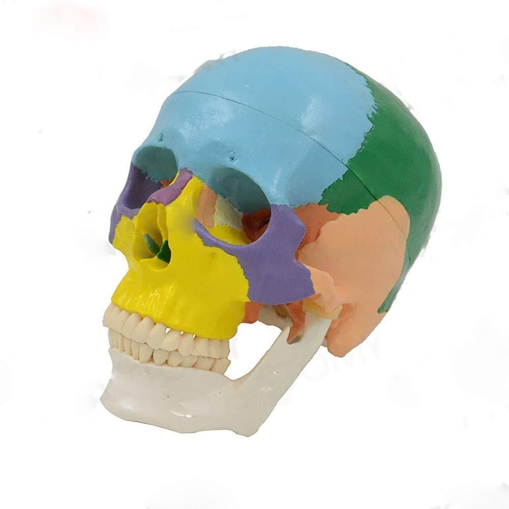 ZLF Time sale Bargain Human Torso Model Skull Size Colore 19 Part Life