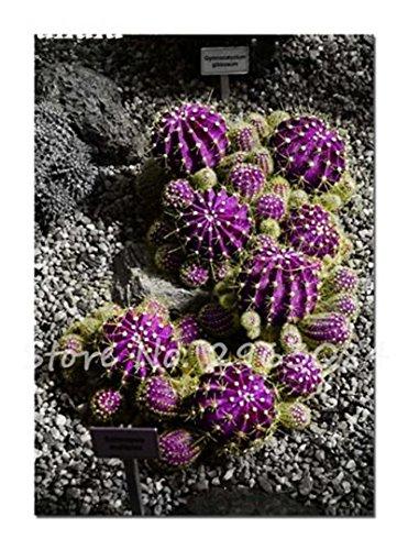 Grosses soldes! 50 Pcs rares Graines de cactus Les plantes succulentes Mini jardin Plantation, fruits comestibles Beauté Vegeable Graines Herbes plante sain 12