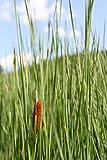 4er-Set im Gratis-Pflanzkorb - Typha laxmannii - Lockerer- Schlanker-Rohrkolben - Wasserpflanzen Wolff