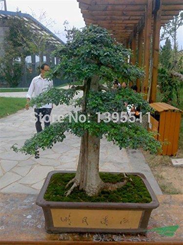 50 Esche Samen Bonsai Samen grünen Baumsamen für Ihre DIY Hausgarten