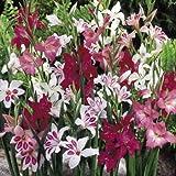 Gladioli ibridi in miscuglio (Gladiolus) 20 BULBI - BULBI DA FIORE PRIMAVERILI...