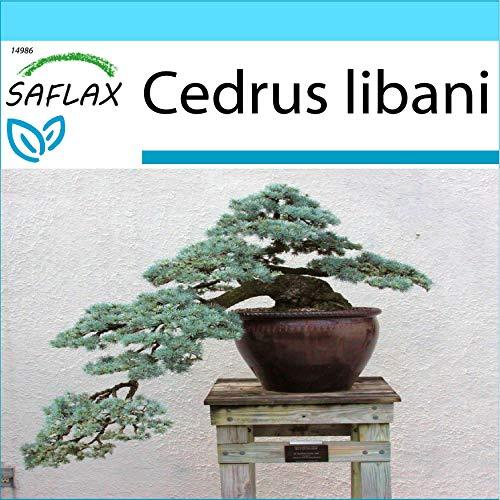 SAFLAX - Kit cadeau - Cèdre du Liban - 20 graines - Cedrus libani