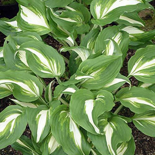 6 x Hosta 'Undulata Mediovariegata' - Weissblatt Funkie Mediovariegata Kleincontainer 9cm x 9cm