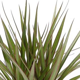 Dracaena Marginata - Maceta 11cm. - Altura aprox. 40cm. - Planta viva - (Envío sólo a Península)