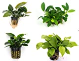 *Anubias Quartett: 4X Anubias-Töpfe = barteri + Nana + Petite + golden, barschfeste Wasserpflanzen