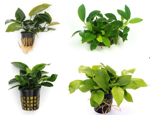 Anubias Quartett: 4X Anubias-Töpfe = barteri + Nana + Petite + golden, barschfeste Wasserpflanzen