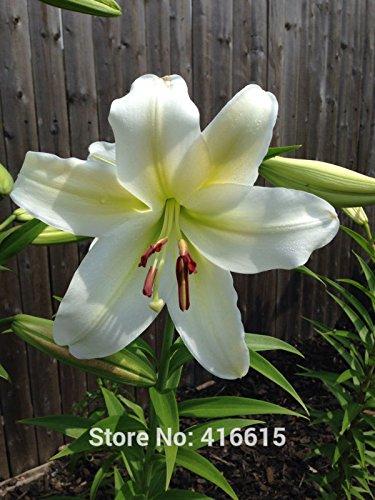 Lily Graines Lilium Gizmo Seeds asiatique Fragrant Oriental et Orienpet Lilies grande taille Flowering jardin Couvre-sol Seed