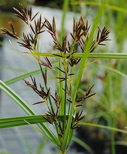 Wasserpflanze Cyperus longusn, langes Zyperngras T9x9
