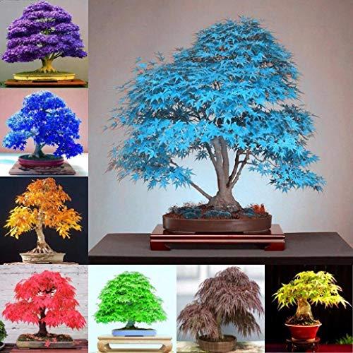Bloom Green Co. Venta al por mayor !30 piezas de árbol de arce Bonsai, arce azul Bonsa de arce de arco iris japonés, plantas para el jardín del hogar Balcón, fácil de cultivar: o