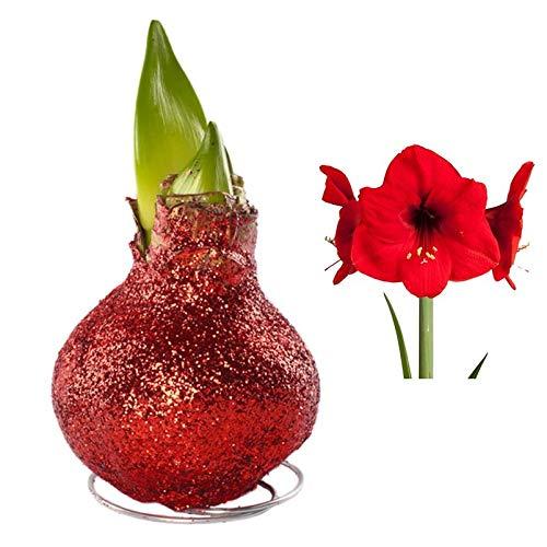 Kölle Gewachste Amaryllis-Zwiebel, Magic Rot, Blüten in Rot
