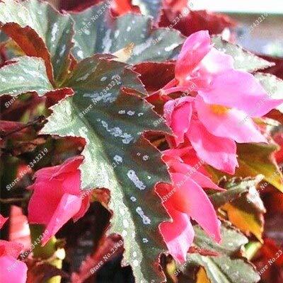 Schlussverkauf!50 Stücke Eine Tasche Exotische Samen Begonie, Begonie Bonsai Samen Blumen Topf Begonie Mehrjährige Blume Garten Balkon Coleus