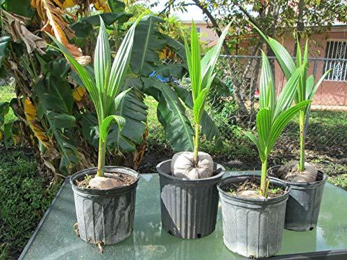 Generic Seeds: 1 Kokospalme Malayan grün