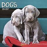 Dogs 2020: Broschürenkalender mit Ferienterminen. Hunde und Welpen. 30 x 30 cm