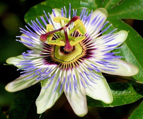 "Edible Passion Vine Plant - Passiflora caerulea - Exotic! - 2.5"" Pot"