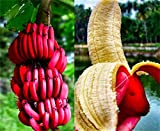 Rare Seeds 100pcs Banana Seeds Red Dwarf Tree Bonsai Fruit Decor Home Gardening Planting