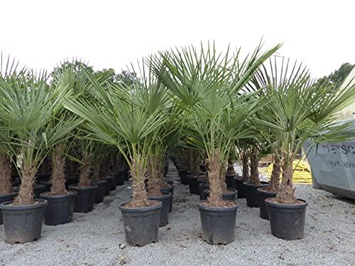 Palme XL 130-160 cm Trachycarpus fortunei, Hanfpalme, winterhart bis -18°C