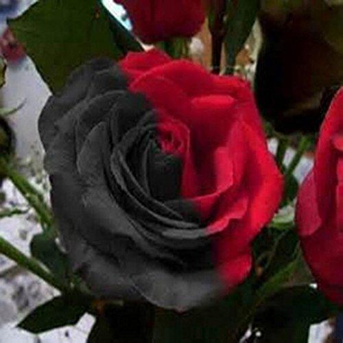 Fastdirect 100 Graines de Rosier Semences Rosiers de Poète Polyanthas Parfumé Bricolage Jardinage Bonsaï Plantes Vivaces, Multi-couleur Disponibles (Noir+rouge)