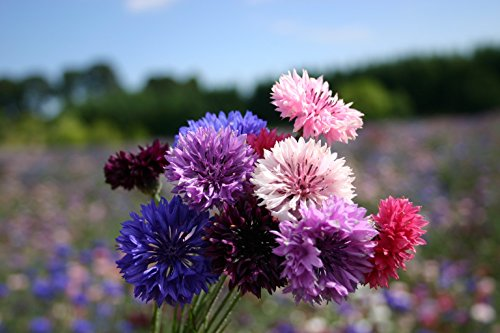Bachelor Button 'Dwarf Polka Dot Mix' Flower Seeds- 200 Heirloom Seeds Per Packet, Non GMO Seeds