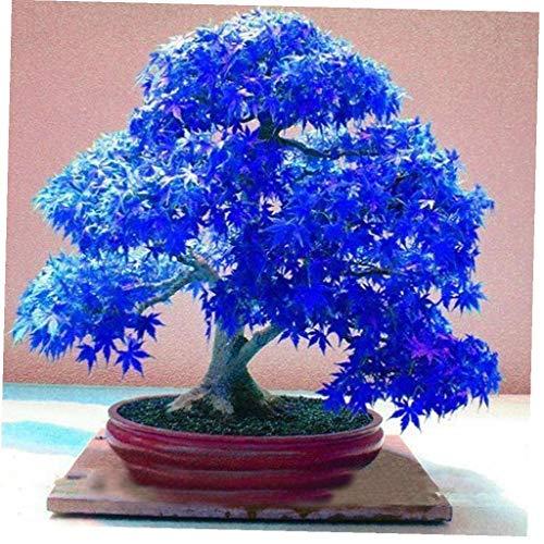DierCosy Tools Ahorn-Samen Bonsai Blumensamen Baumsamen Topfpflanze für Haus und Garten 20Pcs