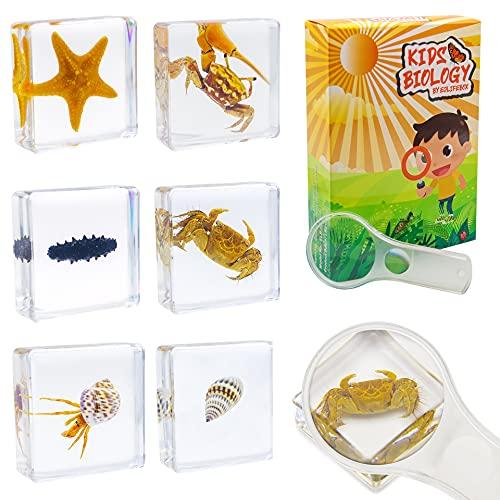 ELifeBox 6 PCS Marine Life Specimen Set,Hermit Crab,Fiddler Crab,Starfish,Nassariidae,Sea Cucumber, Chiromantes Dehaani Resin Collection Science Toys