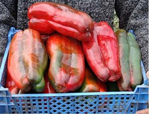 1 Pack, 100 graines / Pack, géant russe Graines Poivron, Organic Heirloom Krasnyy Velikan Chili # m384